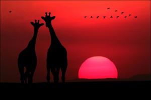 жирафы на закат