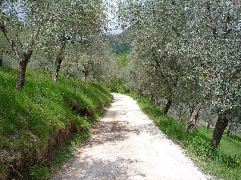 Оливы вдоль проселочной дороги