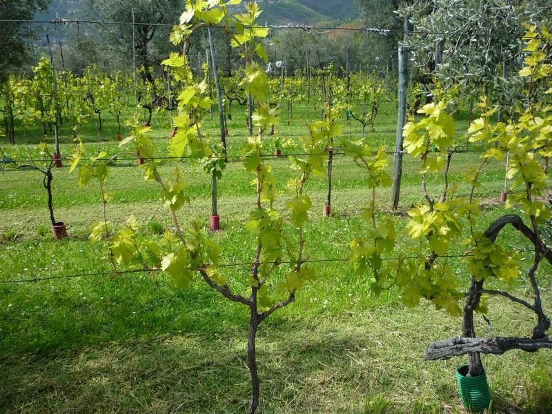 Виноградник в апреле