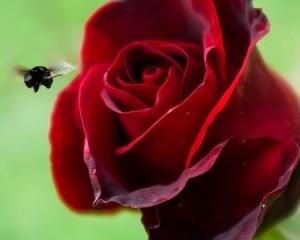 красная роза и шмель