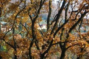 Ветки и желтые листья дуба