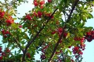 Красные ягоды на зеленых ветвях