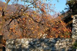 Дерево хурмы за каменным забором
