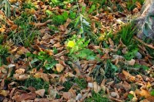 Одуванчик среди осенней листвы